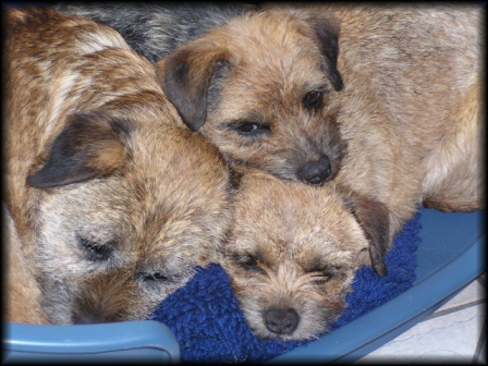 border terriers of lightning spot